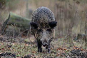 Hog running toward the camera