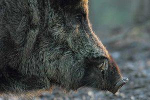 Wild boar profile view