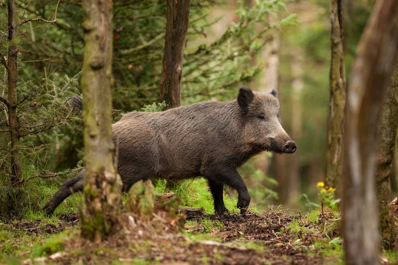 Wild Boar spotted in the forest