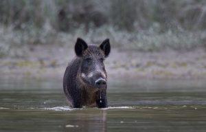 Wild Boar In the water